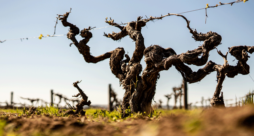 Penfolds Vineyard Landscape
