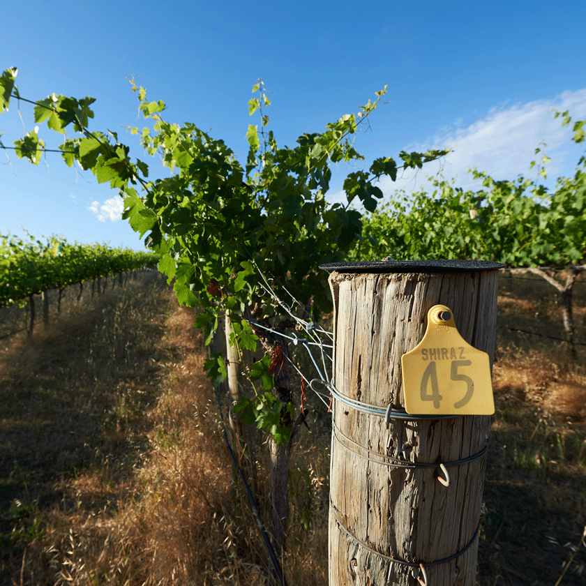 Shiraz vineyard in McLaren Vale