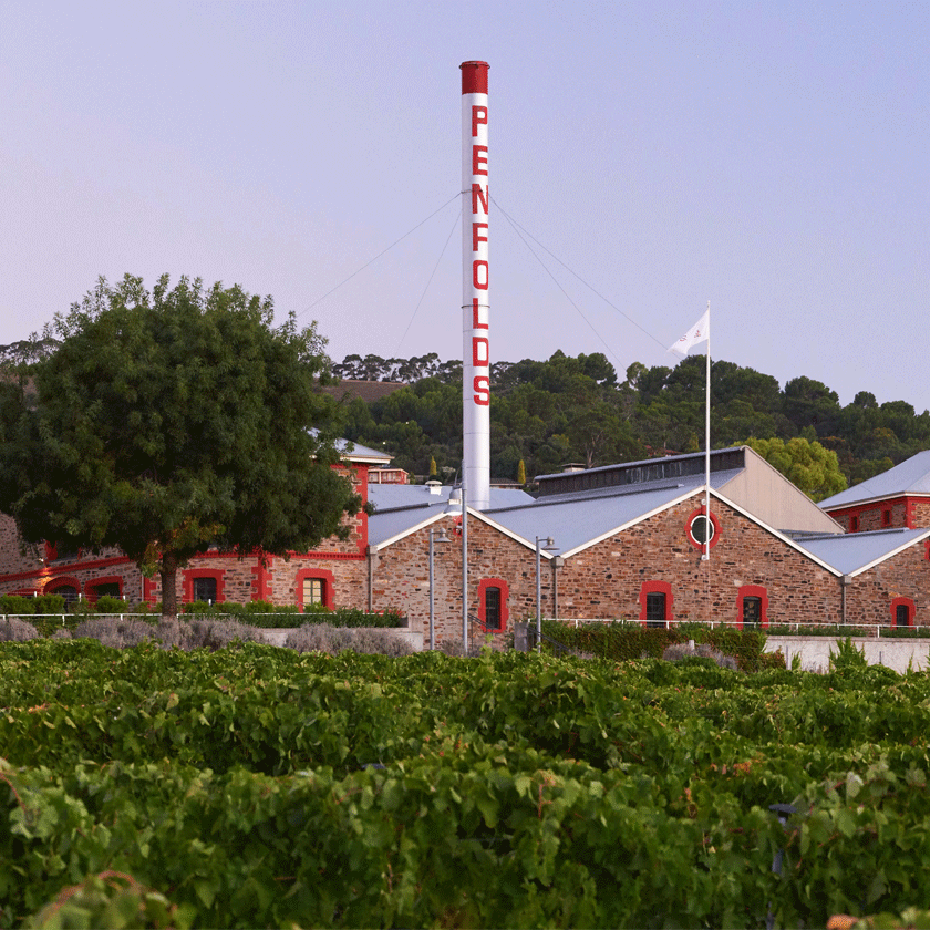 Magill Estate vineyard. Buildings visible behind the vines.