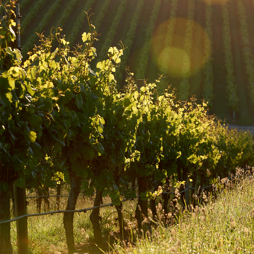 Chardonnay vineyard in Adelaide Hills