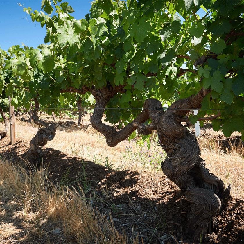 Old vines at Block 42 Kalimna Vineyard, Barossa Valley