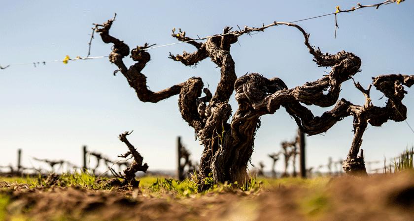 Aged vines at Gersch Vineyard in the Barossa Valley during winter