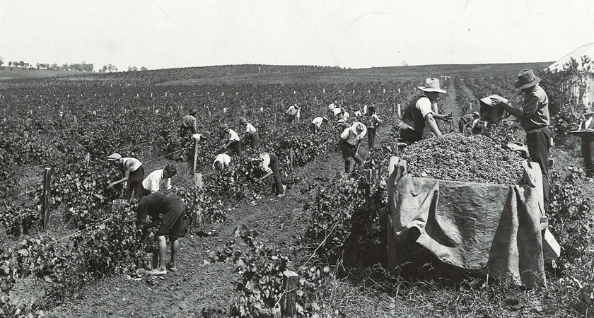 Workers in the vineyard picking grapes during vintage in the late 1880s