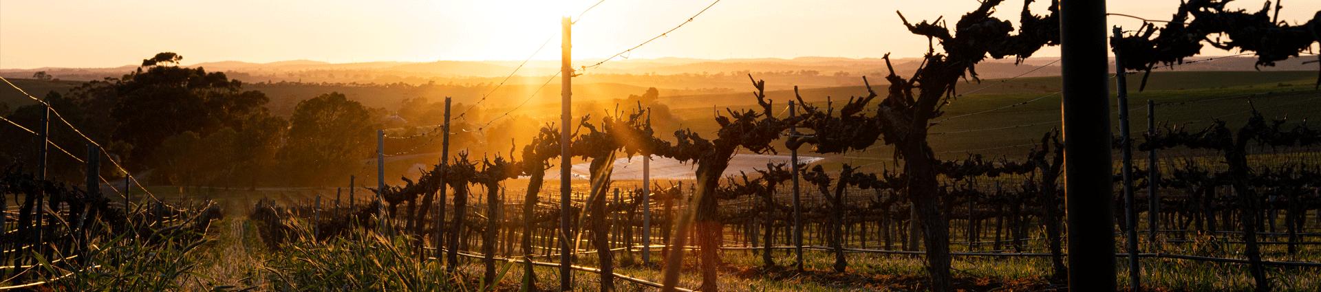 Botanic vineyard at sunrise in winter
