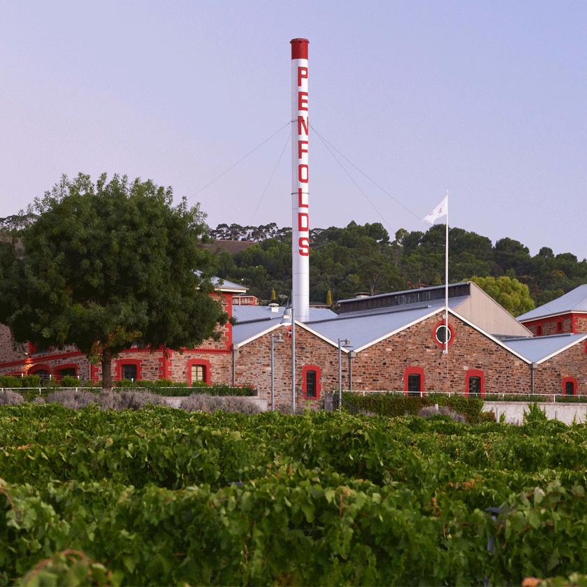 Magill Estate vineyard. Buildings visible behind the vines.