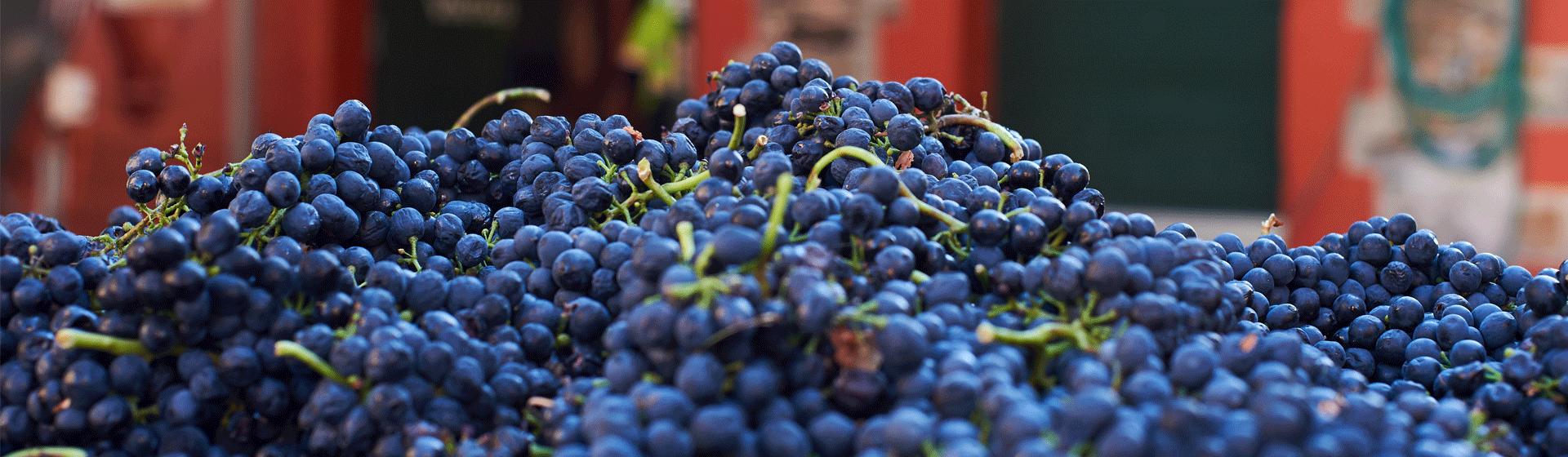 Shiraz Fruit Magill